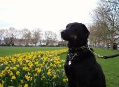 Milo in the tulips