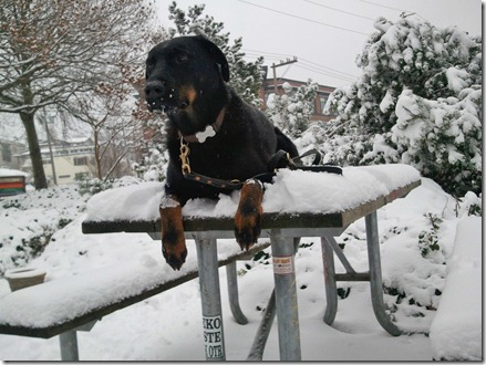 Milo on a snowy picnic table