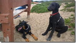Beauceron and Busby