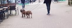 Dog walking -2